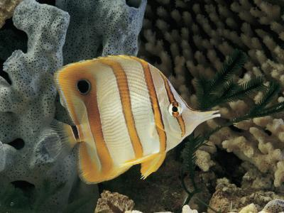 Close-Up of a Copperband Butterfly Fish Swimming Underwater (Chelmon Rostratus)-C^ Dani-Photographic Print