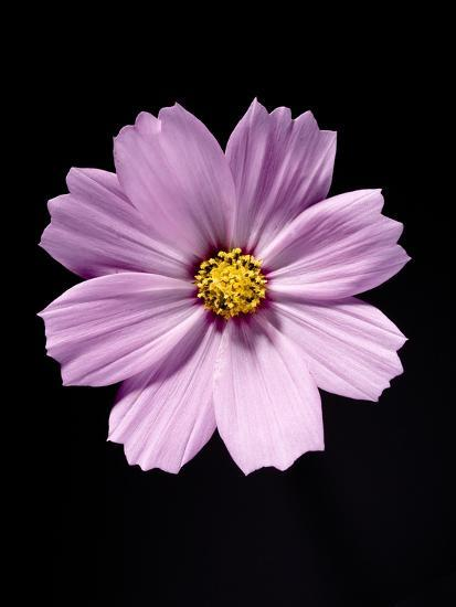 Close-up of a cosmos-Sung-Il Kim-Photographic Print