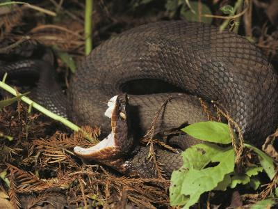 Close-Up of a Cottonmouth, Atchafalaya National Wildlife Refuge, Louisiana--Photographic Print