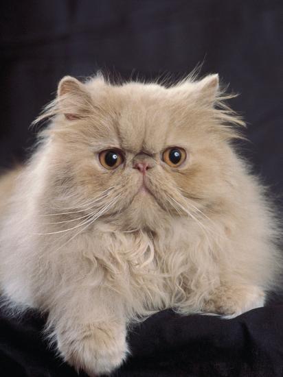 Close-Up of a Cream Persian Cat-D^ Robotti-Photographic Print