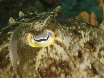 Close-Up of a Cuttlefish Eye, Manado, Indonesia-Stocktrek Images-Photographic Print