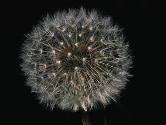 Close-up of a Dandelion That Has Gone to Seed-Brian Gordon Green-Photographic Print