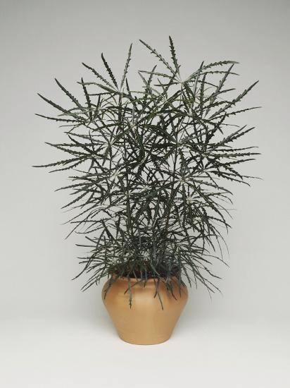 Close-Up of a False Aralia Plant (Dizygotheca Elegantissima)-C^ Dani-Photographic Print