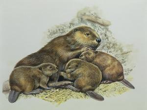 Close-Up of a Female Beaver Lying with its Young (Castor Fiber)
