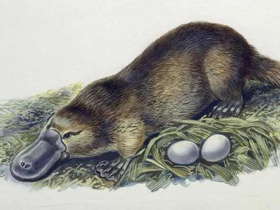 Close-Up of a Female Duck-Billed Platypus with Two Eggs (Ornithorhynchus Anatinus)--Photographic Print