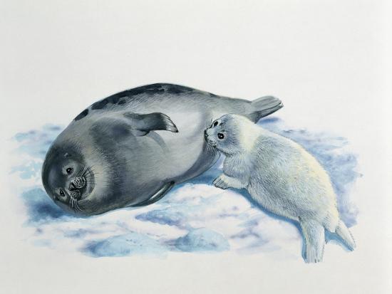 Close-Up of a Female Harp Seal Feeding its Cub (Phoca Groenlandica)--Photographic Print
