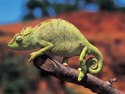 Close-Up of a Female Oustalet's Chameleon (Furcifer Oustaleti)--Photographic Print