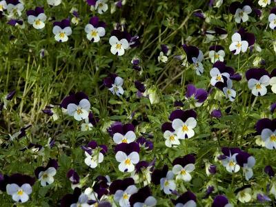Close-Up of a Field of Pansies, Asolo, Italy-Todd Gipstein-Photographic Print