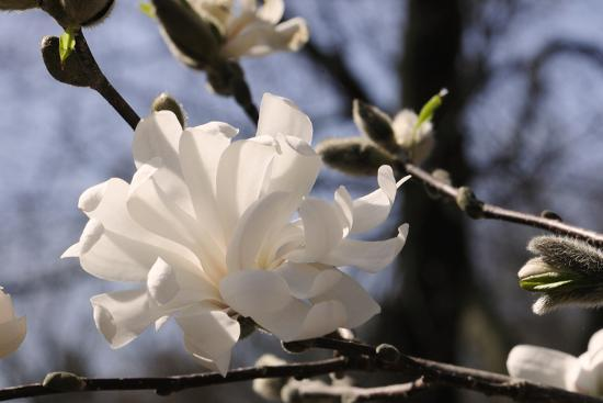 Close Up Of A Flowering Branch Of Star Magnolia Tree Photographic