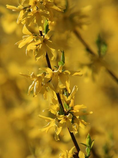 Close-up of a Forsythia Branch in Bloom-Joe Petersburger-Photographic Print