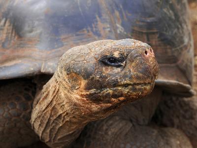 Close Up of a Galapagos Tortoise, Giant Tortoise, Geochelone Nigra, Galapagos Islands, Ecuador-Miva Stock-Photographic Print