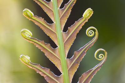 Close-Up of a Giant Fern on a Sunny Morning in Brazil Frond, Fiddlehead-ArtmannWitte-Photographic Print
