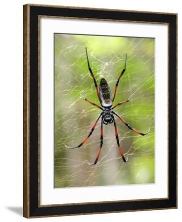 Close-Up of a Golden Silk Orb-Weaver, Andasibe-Mantadia National Park, Madagascar--Framed Photographic Print