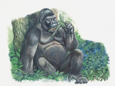 Close-Up of a Gorilla Sitting in the Forest and Eating Leaves (Gorilla Gorilla)--Giclee Print