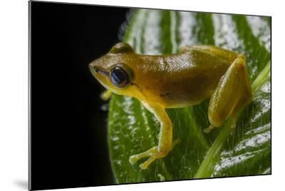 Close Up of a Green Huaorani Rainfrog, Pristimantis Omeviridis-Javier Aznar-Mounted Photographic Print