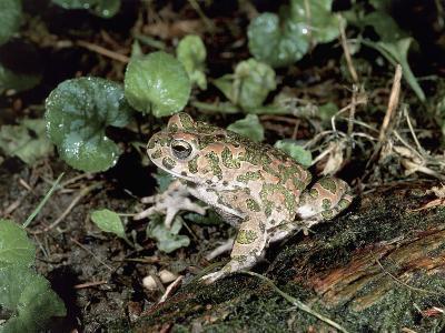 Close-Up of a Green Toad (Bufo Viridis)-S^ Montanari-Photographic Print