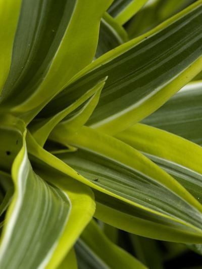 Close-Up of a Green Veriagated Plant, Groton, Connecticut-Todd Gipstein-Photographic Print
