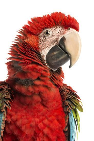 Close-Up of a Green-Winged Macaw-Life on White-Photographic Print