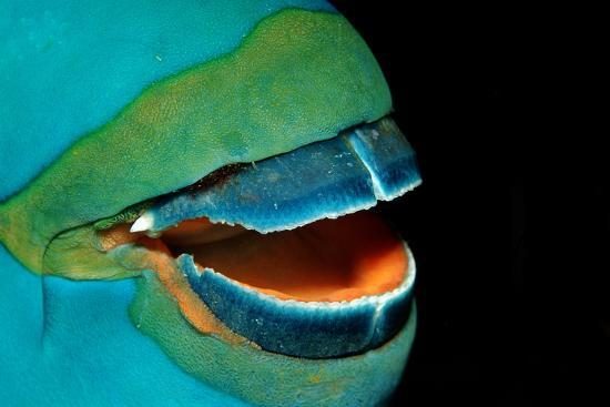 Close-Up of a Greentroat Parrotfish Mouth and Beak-Reinhard Dirscherl-Photographic Print