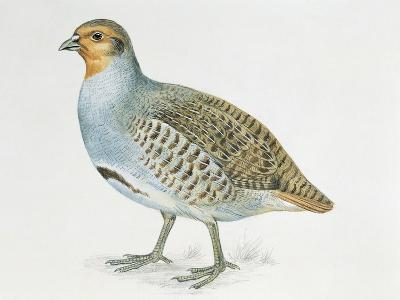 Close-Up of a Grey Partridge (Perdix Perdix)--Giclee Print