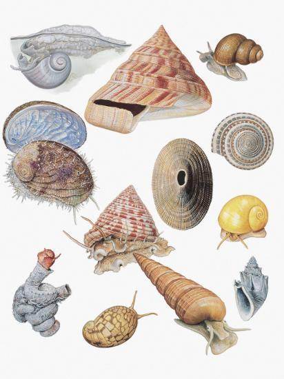 Close-Up of a Group of Astropoda Molluscs--Photographic Print