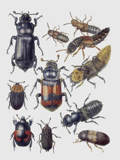 Close-Up of a Group of Coleoptera Insects--Giclee Print