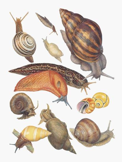 Close-Up of a Group of Gastropoda Molluscs--Giclee Print