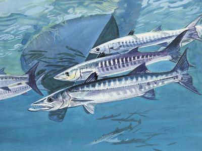 Close Up Of A Group Of Great Barracuda Fish Sphyraena Barracuda