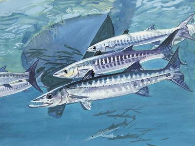 Close-Up of a Group of Great Barracuda Fish (Sphyraena Barracuda)--Giclee Print
