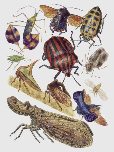 Close-Up of a Group of Hemiptera Insects--Giclee Print