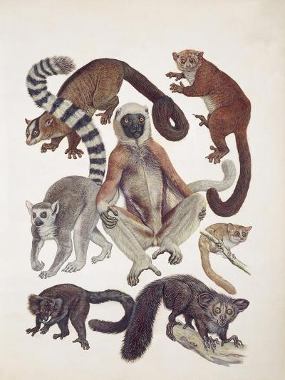 Close-Up of a Group of Lemuridae Mammals--Giclee Print