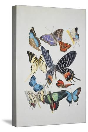 Close-Up of a Group of Lepidoptera Insects--Stretched Canvas Print