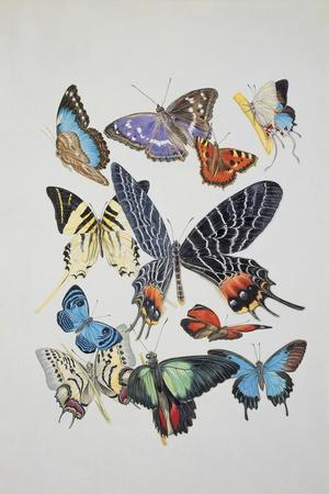 Close-Up of a Group of Lepidoptera Insects--Giclee Print