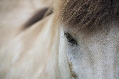 Close Up of a Icelandic Horse in Akureyri, Iceland-Michael Melford-Photographic Print