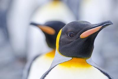 https://imgc.artprintimages.com/img/print/close-up-of-a-king-penguin-aptenodytes-patagonicus-at-salisbury-plain-on-south-georgia-island_u-l-pwe2bv0.jpg?p=0