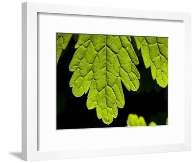 Close Up of a Leaf Showing Vein Detail-Joe Petersburger-Framed Photographic Print
