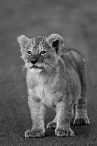 Close-up of a lion cub standing, Ngorongoro Crater, Ngorongoro Conservation Area, Tanzania (Pant...