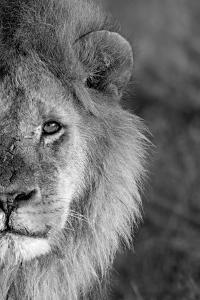 Close-up of a lion, Ngorongoro Conservation Area, Arusha Region, Tanzania (Panthera leo)