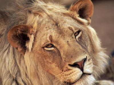 Close-up of a Lion (Panthera Leo), Mashatu Game Reserve, Botswana, Africa-Sergio Pitamitz-Photographic Print