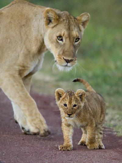 Close-up of a Lioness and Her Cub, Ngorongoro Crater, Ngorongoro Conservation Area--Photographic Print
