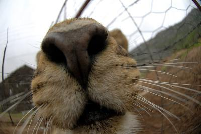 Close Up of a Lioness' Nose and Mouth, South Africa-Keith Ladzinski-Photographic Print