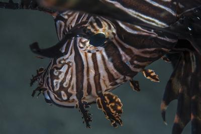 Close-Up of a Lionfish in Komodo National Park, Indonesia-Stocktrek Images-Photographic Print