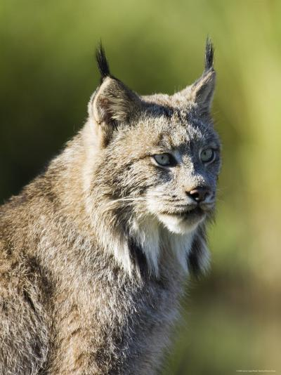 Close-Up of a Lynx (Lynx Canadensis) Sitting, in Captivity, Sandstone, Minnesota, USA-James Hager-Photographic Print