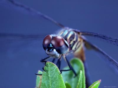 Close-up of a Male Blue Dasher Dragonfly-Robert Sisson-Photographic Print