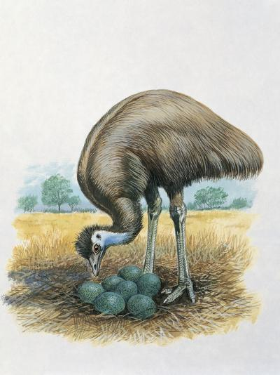 Close-Up of a Male Emu Standing Near Eggs--Photographic Print