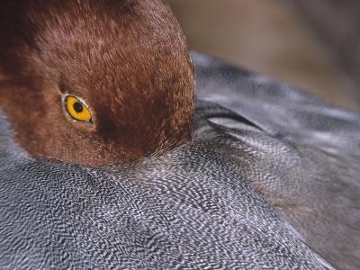 Close-Up of a Male Redhead Duck Head Resting, Aythya Americana, North America-Arthur Morris-Photographic Print