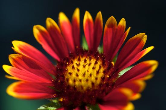 Close Up of a Mexican Sunflower-Vickie Lewis-Photographic Print