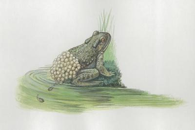 Close-Up of a Midwife Toad Deposits Eggs in Water--Giclee Print