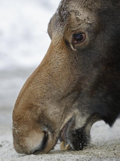 Close Up of a Moose Licking at a Salt Lick (Alces Alces), North America-Garth McElroy-Photographic Print