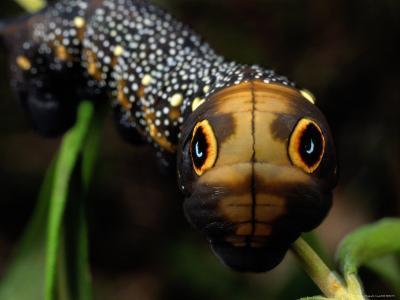 Close-up of a Moth Caterpillar(Xylophanes Falco) with False Eyes-Darlyne A^ Murawski-Photographic Print